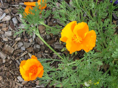 california_poppy.jpg