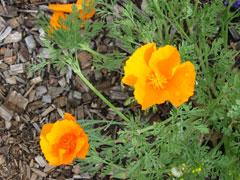 california_poppy.jpg