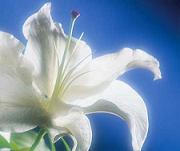 Mirza Galib Flowers