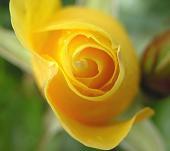 Mirza Galib Rose