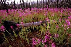 Mirza Galib Field_of_flowers_sc122